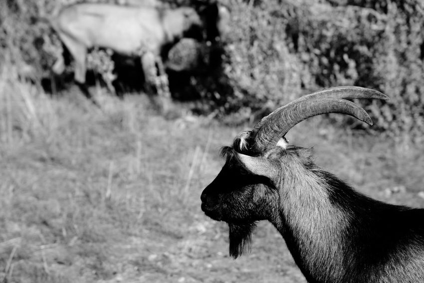Billy Goat Goats Horns Silhouette Animal Themes Animal Wildlife Animals In The Wild Bird Close-up Day Domestic Animals Field Focus On Foreground Gaggle Herd Livestock Mammal Nature No People One Animal Outdoors Ovine Sheep