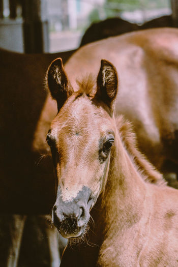 Curious Foal Animal Themes Animal Looking At Camera Animal Wildlife Horse Portrait Focus On Foreground Livestock Close-up Animal Head  Outdoors Baby