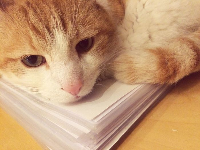 Paper Working Place Desk Domestic Pets Animal Themes Mammal One Animal Domestic Animals Cat Domestic Cat Feline Animal Close-up Whisker Portrait Relaxation Animal Head  Indoors