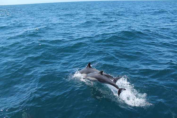 High angle view of two dolphins jumping out of the ocean