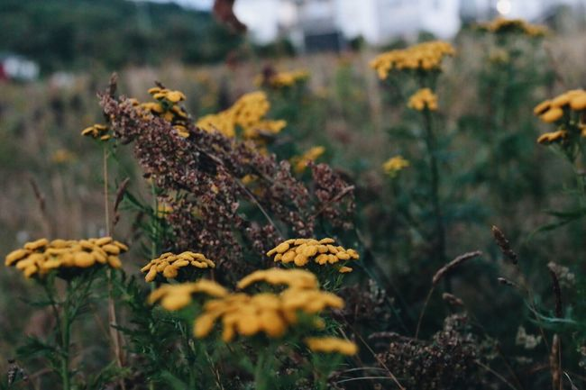 Flower Nature Growth Plant No People Outdoors Fragility Day Freshness Beauty In Nature Close-up Flower Head Autumn Colors Autumn Colours Meadow Flowers Agriculture Beauty In Nature Plant Night Herb Meadow Tansy Focus On Foreground Focus On Details