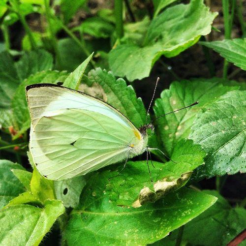 Mariposa en verde ? Butterfly Mariposa