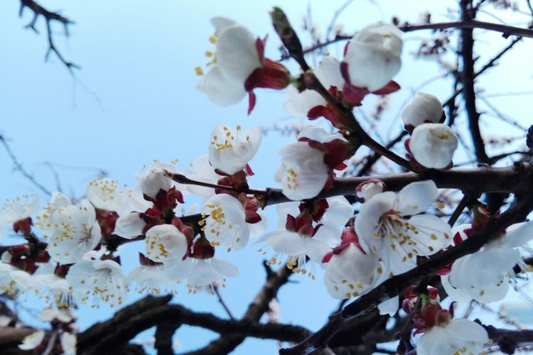 Nature Springtime Branch Flower Close-up Twig Blossom Low Angle View Flower Head Apricot Blossom Apricot Blossom Uppon Blue Sky Veronica Ionita Wolfzuachis Showcase: March Eyeem Market @WOLFZUACHiV Veronicaionita Ionitaveronica Showcase: 2017 Huaweiphotography Wolfzuachiv On Market Edited By @wolfzuachis Apricot Flowers