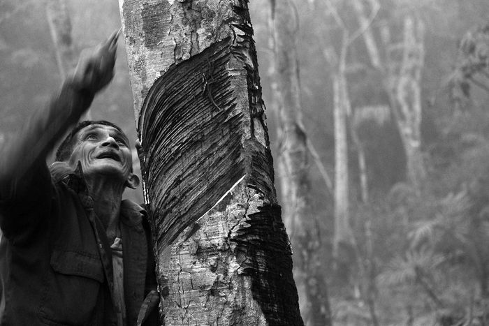 Tappin rubber tree. Rubber Tree Tapping Country Life Black And White