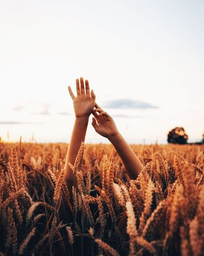 Cropped hands of woman amidst crops on field against sky during sunset