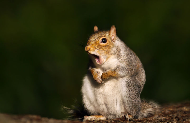 Close-up of squirrel yawning while sitting outdoors