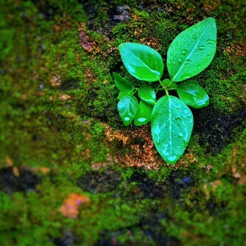 Focus Object A Sapling growing on an old moss covered brick wall Leaf Growth Green Color Nature Plant Close-up Beauty In Nature Freshness Sapling Moss Wall Sapling Brick Wall Oldwalls