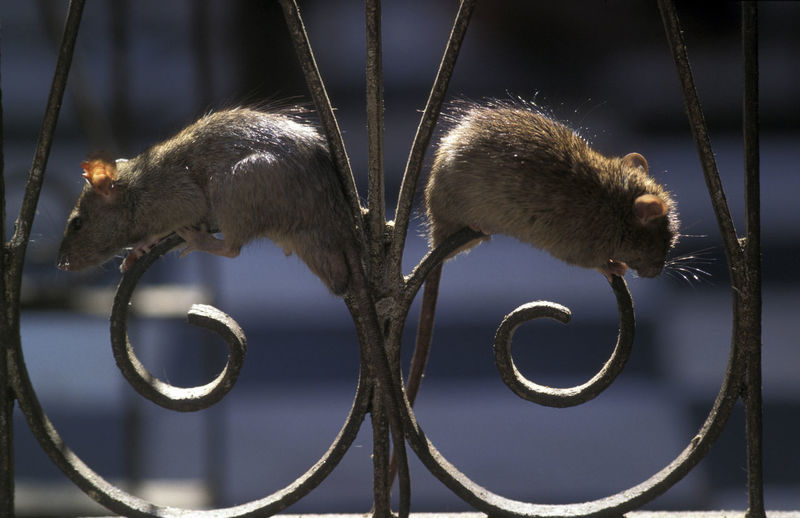 Close-up of rats on metal fence