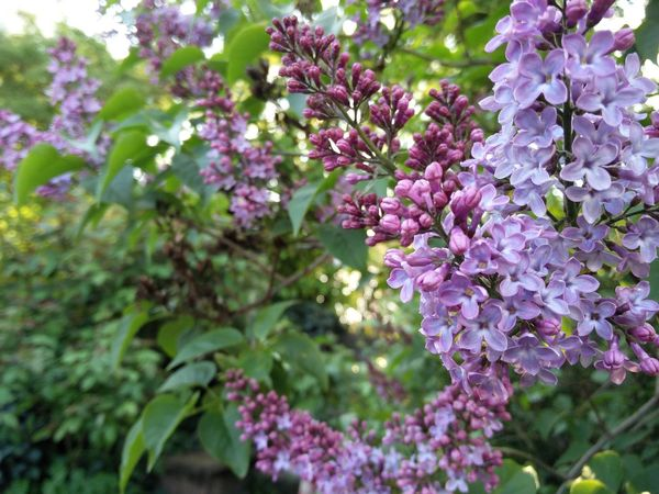 Soon to come - a foretaste of spring Beauty In Nature Blooming Blossoms  Close-up Flieder Flieder Lila Flush Flushing Lilac Growth Lilac Nature Spring Spring Is Coming  Springtide Springtime Syringa