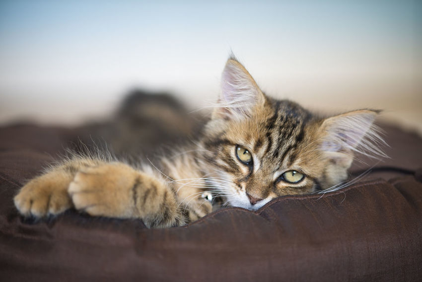 Cute Pets Animal Animal Body Part Animal Eye Animal Head  Animal Themes Cat Close-up Domestic Domestic Animals Domestic Cat Feline Kitten Looking At Camera Lying Down No People One Animal Pets Portrait Relaxation Selective Focus Tabby Whisker