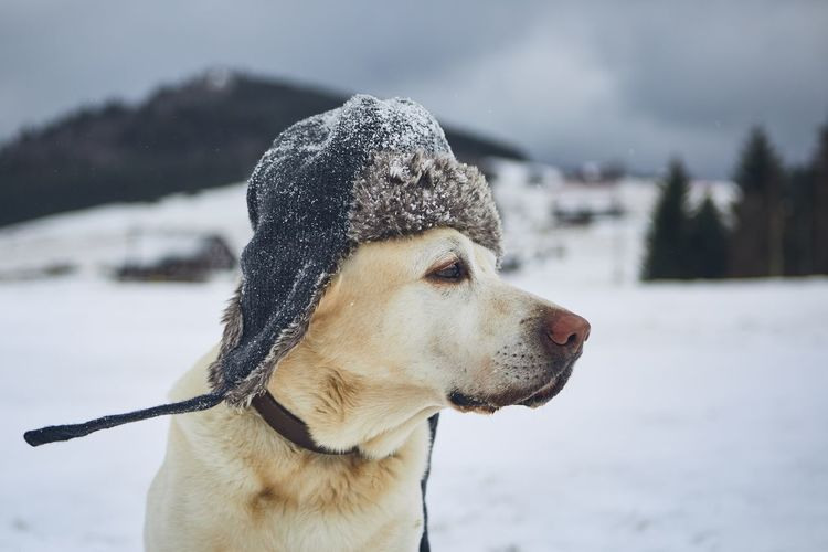Close-up of dog looking away in snow