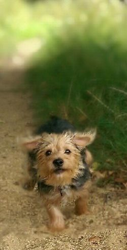 Buster Enjoying Life Yorki Yorkshire Terrier Motion Puppy Love ❤ 🐕🐕🐕🐕