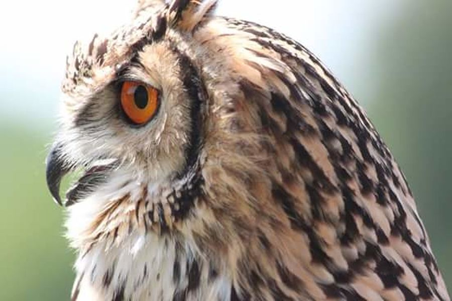 UIL Owl Close-up Walking Around Taking Pictures Fresh On Eyeem  Kasteelruïne Valkenburg | Fluweelengrot  Canon EOS 1300D Valkenburg Roofvogelshow Roofvogel Bird Show Beauty In Nature Bird Of Prey Bird Photography
