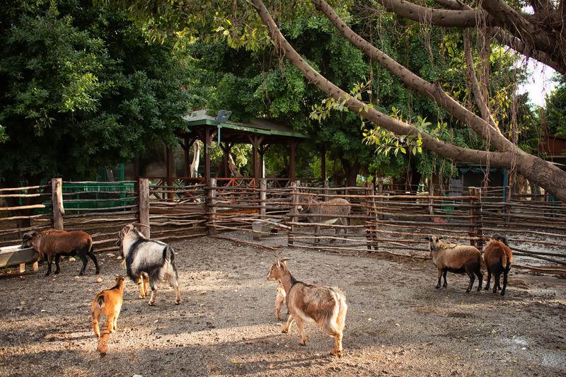 Goat Pin Mammal