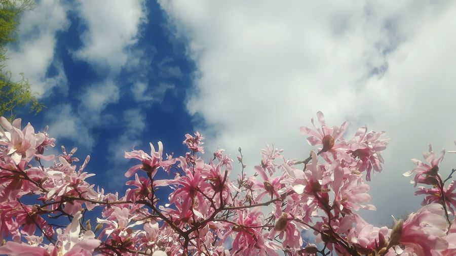 Tree Nature Beauty In Nature Outdoors Plant Springtime No People Scenics Forest Branch Sunset Sky Landscape Freshness Close-up Day Beauty In Nature Magnolias Blooming Magnolienknospe Magnolia Loebneri Freshness Flower Garland Treetop Cloud - Sky Magnolia Tree