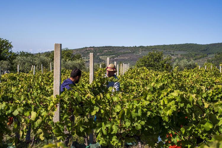 People working in vineyard against clear sky