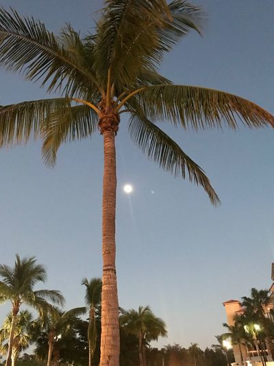 Dear Moon, you that can see everyone... would you let her know? IPhone7Plus IPhoneography Palm Tree Tree Tree Trunk Low Angle View Tropical Climate Nature Beauty In Nature Sky Palm Frond Scenics Growth Outdoors Tranquility Vacations Leaf No People Beach Summer Adventure Blue