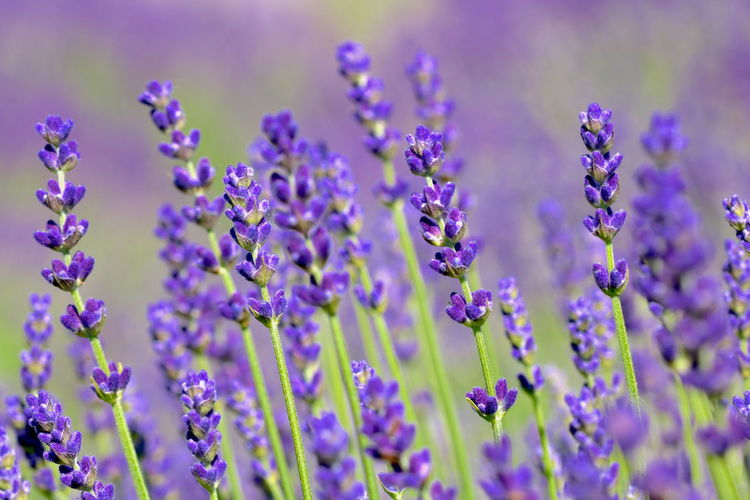 Close-up of lavender  on field