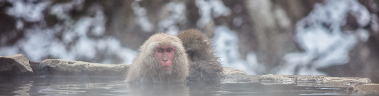 Snow Monkeys of Nagano relaxing in the Onsen hot springs ASIA Japan Nagano Prefecture,Japan Onsen Snow Monkey Animal Animal Head  Animal Themes Animal Wildlife Animals In The Wild Cold Temperature Day Japanese Macaque Mammal Monkey No People One Animal Primate Snow Urnabo Vertebrate Wildlife