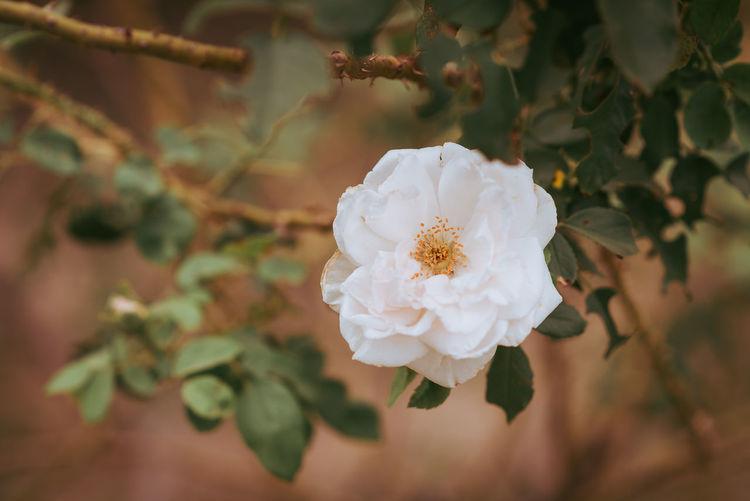 White rose flower in a garden,