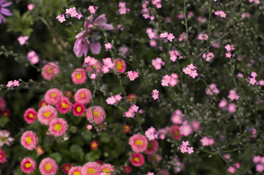 blossom Beauty In Nature Close-up Day Flower Flower Head Flowering Plant Focus On Foreground Fragility Freshness Growth Inflorescence Nature No People Outdoors Park Petal Pink Color Plant Selective Focus Spring Springtime Vulnerability
