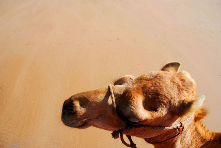 High angle view of camel at desert