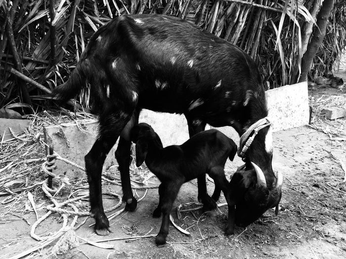 Unconditional Love of Mother for 1day old baby Blackandwhite Goat Feeding Rural Life Goat Life Mammal Animal Themes Animal Vertebrate Domestic Animals Pets EyeEmNewHere Domestic Animal Family Nature EyeEmNewHere