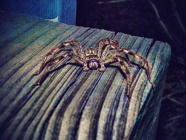 Spider HuntsmanSpider Flash Photography