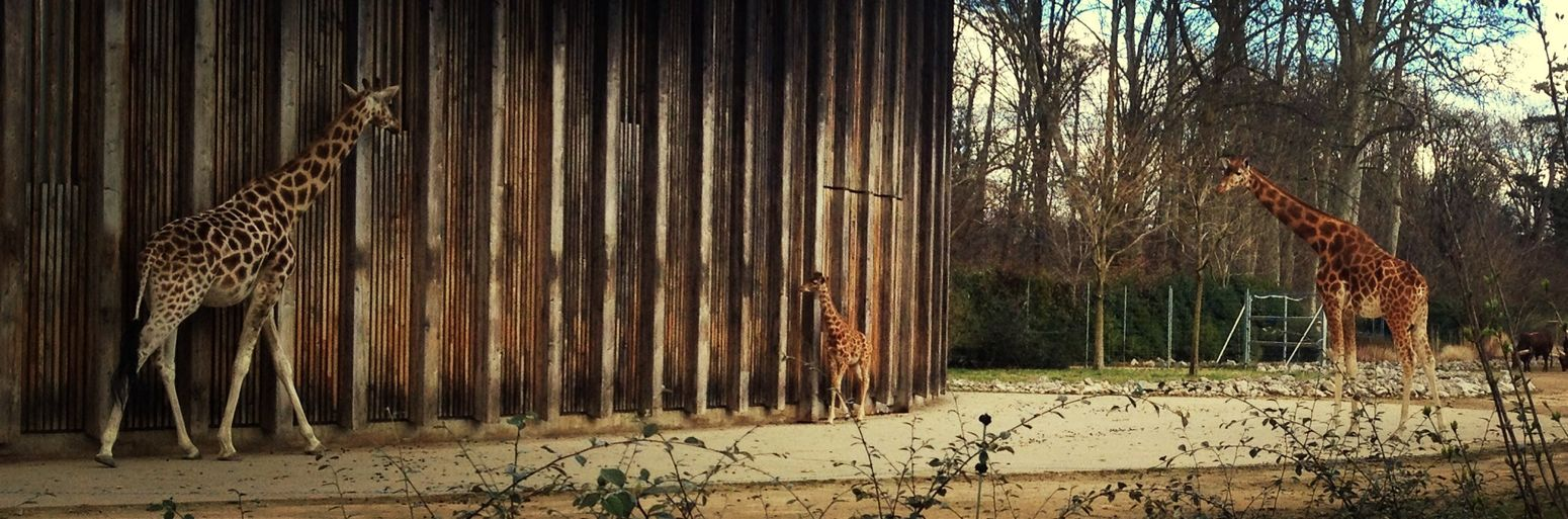 Giraffe Zoo Park