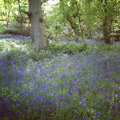 Fritton Frittonlake Norfolk Bluebell bluebells woods nature wildlife spring