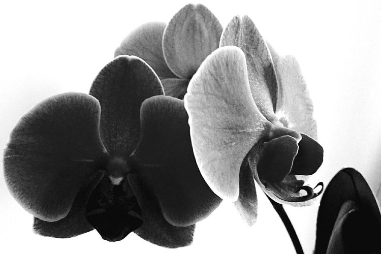 Mobilephotography Blackandwhite Flowers Orchid Shades Of Grey