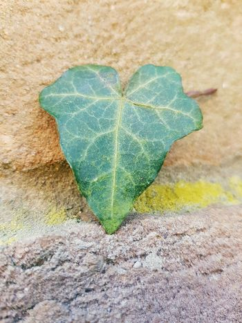 Heart Shape Green Color Nature Close-up Simple Pictures Leaf Ivy Leaf Veins In Leaves Beauty In Nature Outdoors