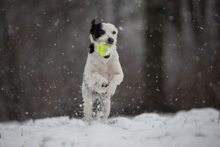 Dog playing in the snow Animal Themes Carrying In Mouth Cold Temperature Crossbreed Day Dog Domestic Animals Mammal Nature No People One Animal Outdoors Pets Snow Snowflake Snowing Tennis 🎾 Winter