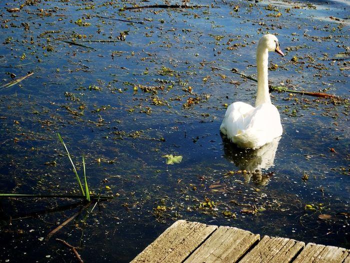 Swan Taking