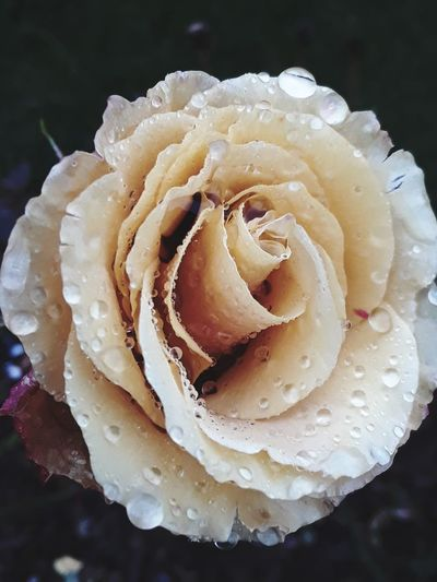 stopped to smell the roses Rainy Days Raindrops PNW Roses Beauty EyeEm Selects Nature Close-up Petal Flower No People