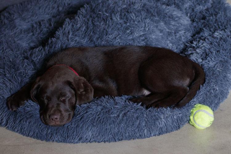 Dog sleeping with ball