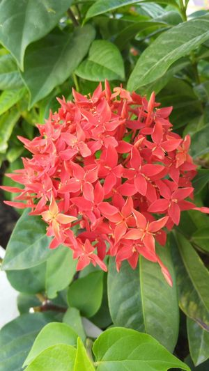 Red ixoras blooming in park