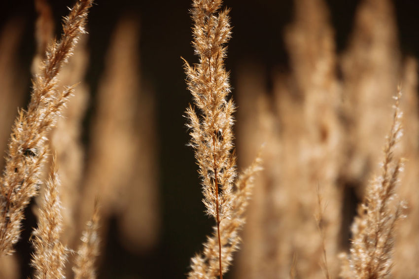 Grass, Spikelets, Brown, Autumn, Sun, Abstraction Autumn Autumn colors Grass Abstraction Backgrounds Beauty In Nature Brown Close-up Nature No People Outdoors Selective Focus Sun