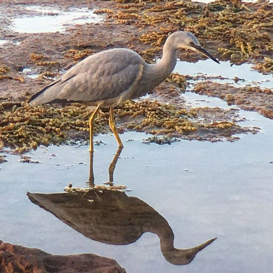 Local heron picking through the rock pools Hanging Out Enjoying Life Taking Photos Halfcenturytraveller EyeEm Gallery EyeEmbestshots Eye4photography  EyeEmBestPics Eyeemphotography Reflection Reflections Reflection_collection Nature_collection Nature Photography Naturelovers Nature On Your Doorstep Nature Heron Bird Bird Photography Birds_collection EyeEm Best Shots - Nature
