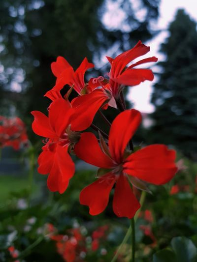In the garden... Flower Head Flower Red Poppy Petal Springtime Leaf Blossom Close-up Plant