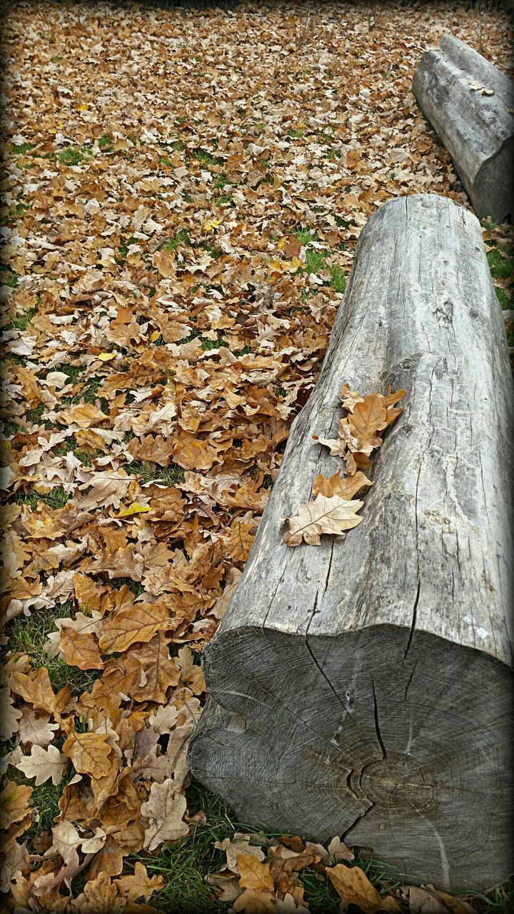 autumn, leaf, change, dry, nature, fallen, tree trunk, day, no people, outdoors, wood - material, tree stump, tree, forest, animal themes, beauty in nature, close-up