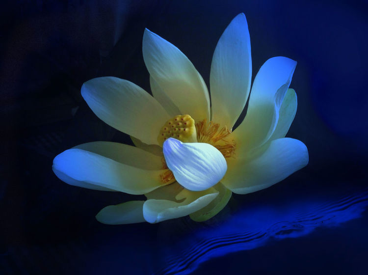 Waterlily Beauty In Nature Blooming Blue Flower Close-up Day Flower Flower Head Fragility Freshness Growth Lotus Water Lily Nature No People Outdoors Petal