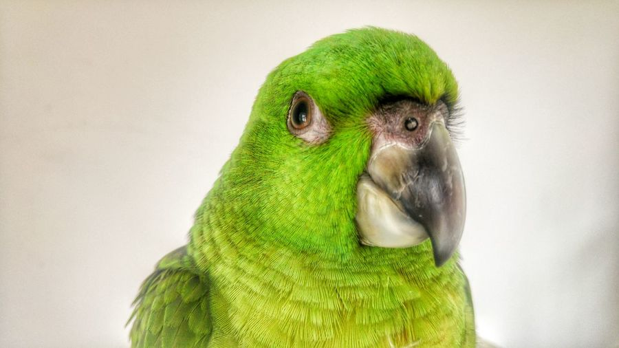 Could u look at me 😄why not💚👍😄 Parrot Parrot Lover Animals Animal Animal Themes Animal Photography Animal Love Taking Photos Check This Out Hello World Relaxing Hi! Enjoying Life Animal_collection Summertime Eye4photography