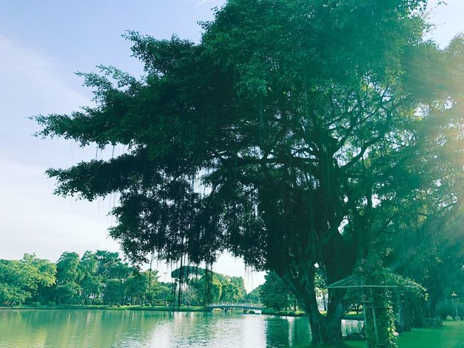 Tree Plant Water No People Nature Day Sky Tranquil Scene Scenics - Nature Waterfront Flock Of Birds Outdoors Low Angle View Lake Tranquility Branch Beauty In Nature Green Color Growth