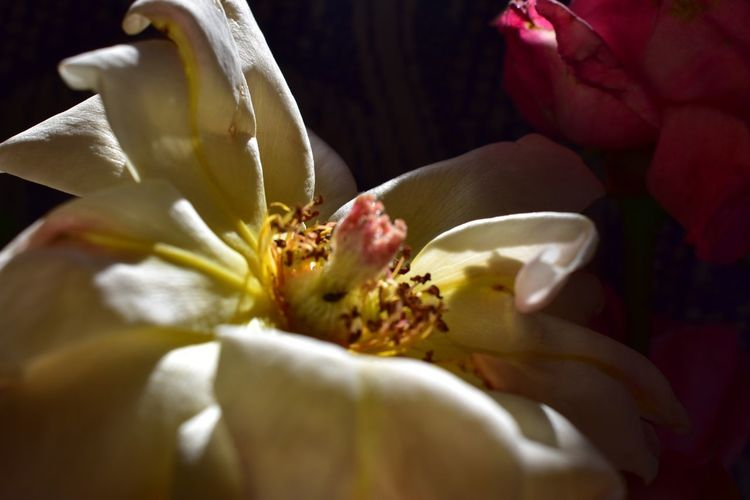 Amor eterno Nikond5600 Nikond5600 Rosas Florecitas_mx Flowering Plant Flower Plant Freshness Fragility Beauty In Nature Vulnerability  Nature Selective Focus Focus On Foreground Flower Arrangement No People Petal Inflorescence Pollen Yellow Outdoors Flower Head Growth Close-up