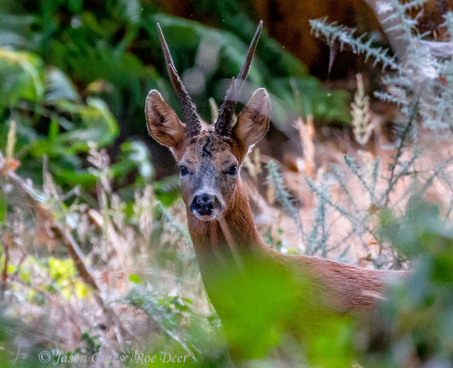 Roe deer Animal Animal Head  Animal Themes Animal Wildlife Animals In The Wild Day Deer Fawn Forest Herbivorous Land Looking At Camera Mammal Nature No People One Animal Outdoors Plant Portrait Selective Focus Tree Vertebrate