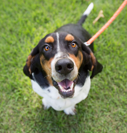 Bassett hound puppy Animal Animal Head  Animal Themes Bassett Hound Of Texas Dog Domestic Animals Field Focus On Foreground Grass Grassy Green Color Growth Hound HoundDog Looking At Camera Loyalty Mammal No People One Animal Outdoors Panting Pets Portrait Snout Zoology