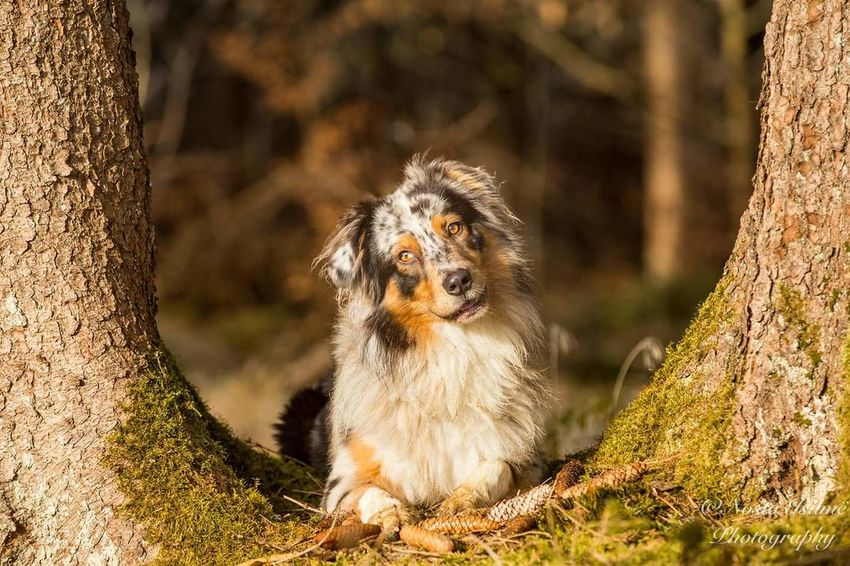 Looking At Camera Portrait No People Mammal One Animal Outdoors Day Animal Themes Australianshepherd Aussie Aussies Aussiephotos Aussiesofinstagram Australian Shepherd  Pets Animal Beauty In Nature Domestic Animals Nature
