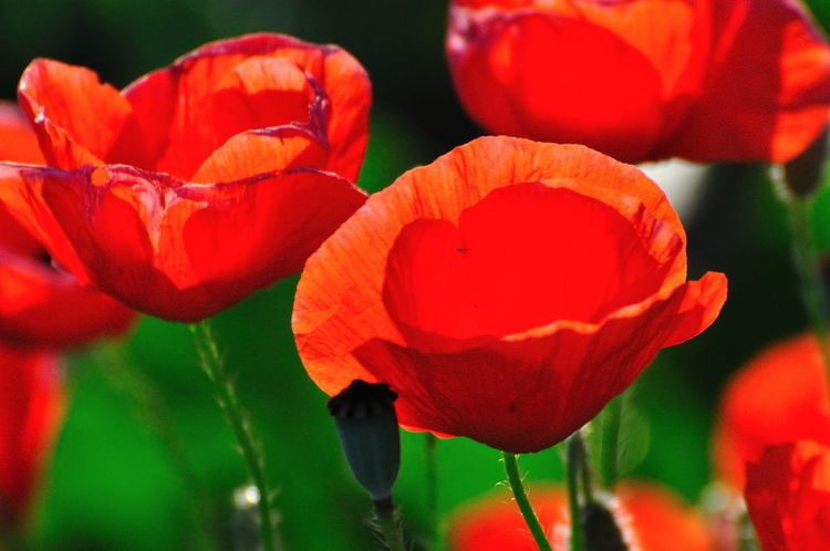 Beauty In Nature Blooming Close-up Day Flower Flower Head Fragility Green Color Growth Nature No People Outdoors Petal Plant Poppy Red