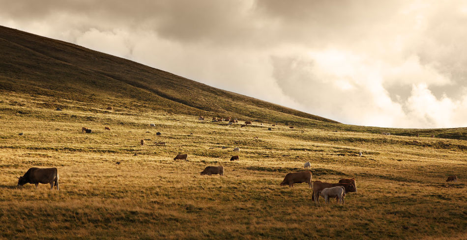 Herd of catle at susnet in mountains. Nature Scenic Animal Themes Animals In The Wild Background Cattle Cows Domestic Animals Dusk Evening Grazing Herd Herd Of Cows Landscape Large Group Of Animals Livestock Mammal Mountain Mountain Range Nature Outdoors Scenics Sunset Travel Destinations